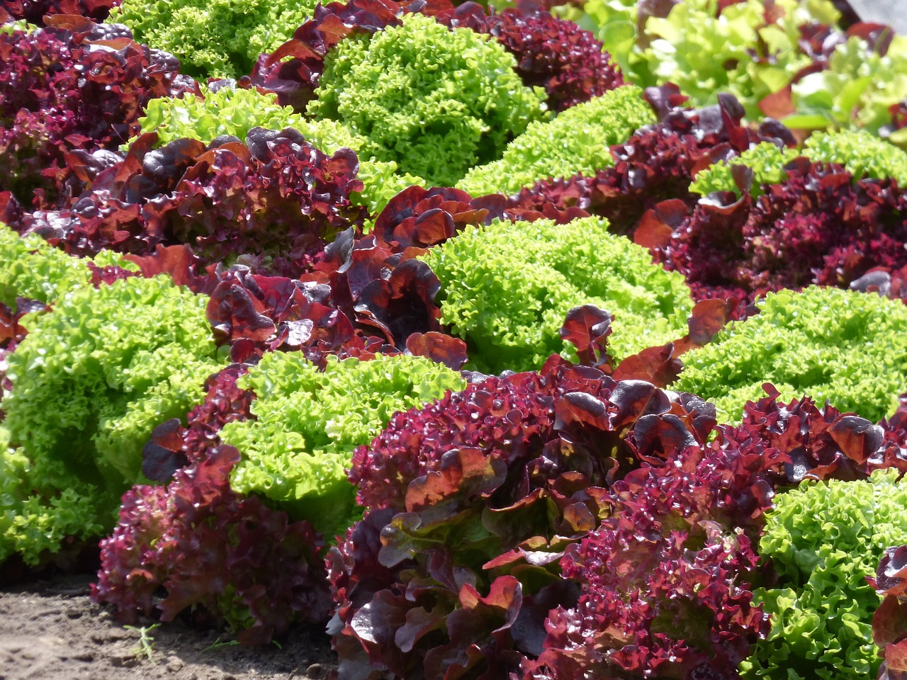 Difference between red and green leaf lettuce - Cultivar plantas aromaticas ...