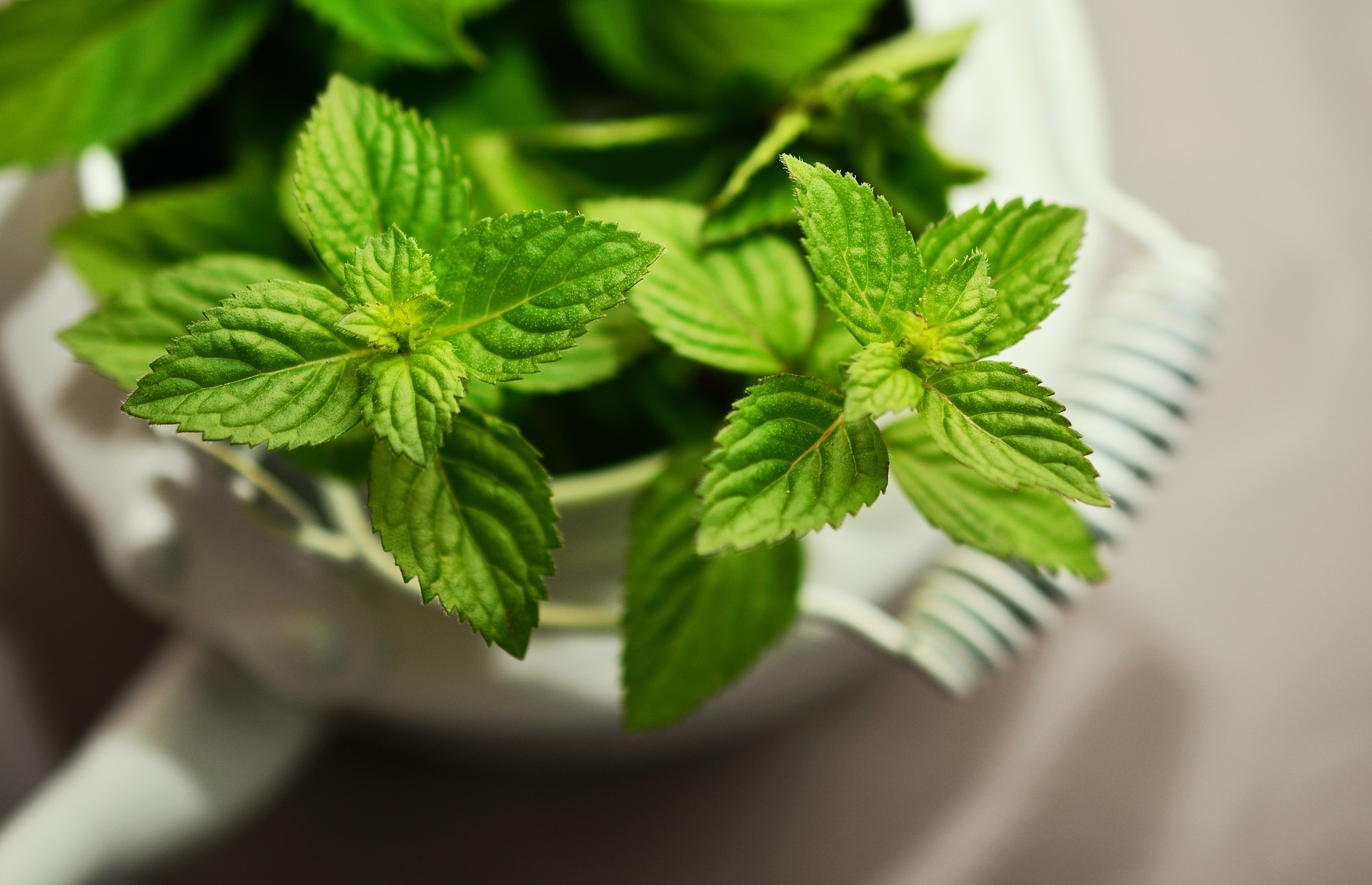 peppermint plant in a white pot