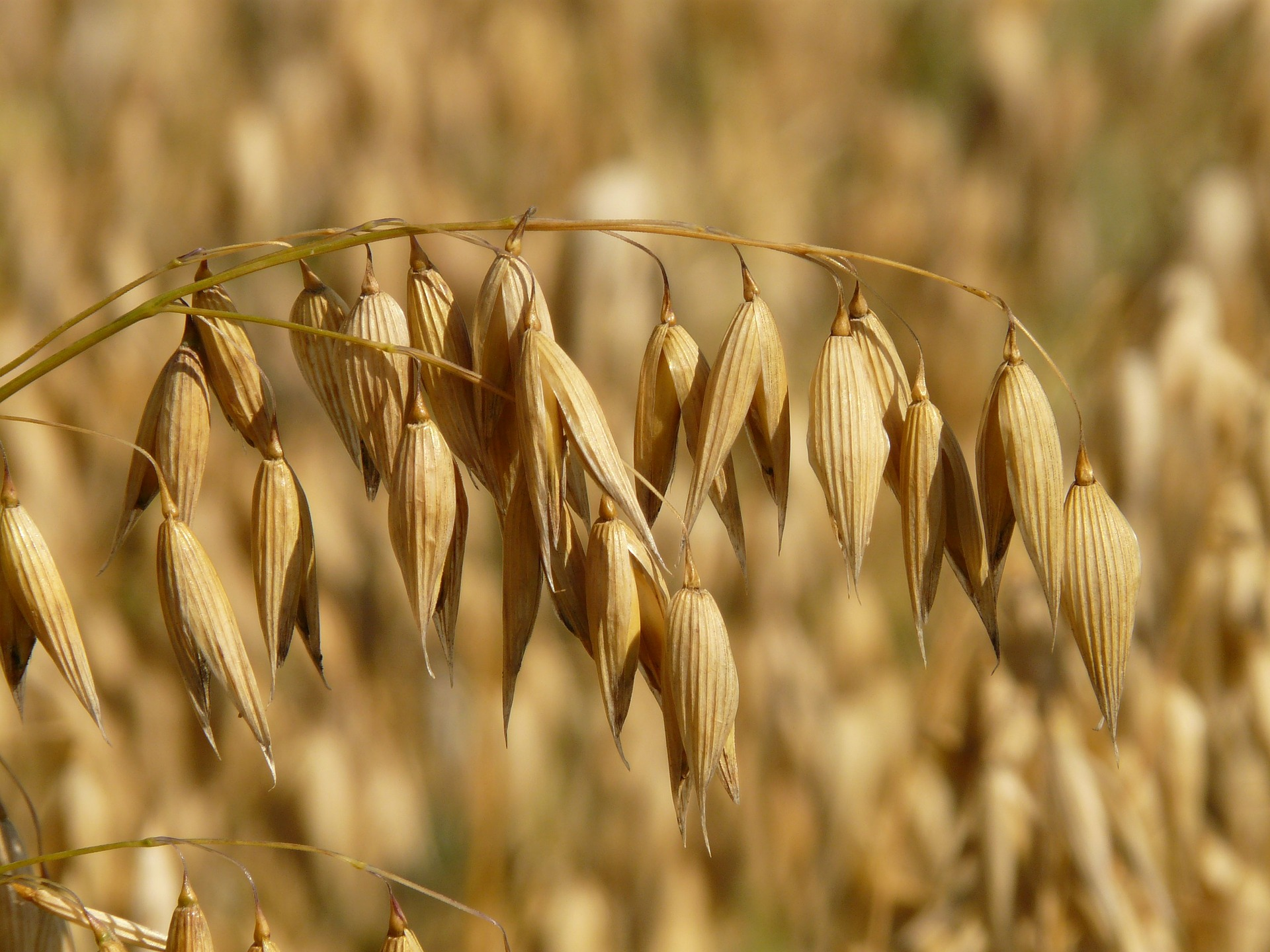 close up of oats in the field